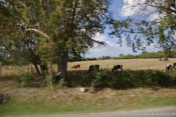 Cows grazing in Antigua.jpg