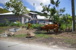 Cows on the side of the road in Antigua.jpg