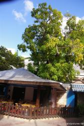 Mango tree above a cafe in Antigua.jpg
