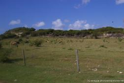 More grazing cows in Antigua.jpg