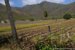Pinapple Farm in Antigua 2.jpg