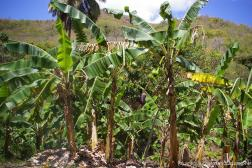 Plantain trees in Antigua.jpg