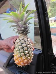 Small sweet pinapple in Antigua.jpg